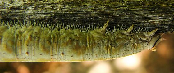 Mono Lake larva - Catocala
