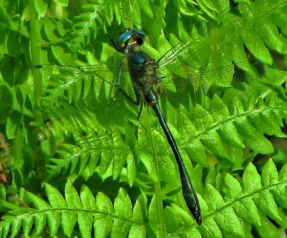 Racket - tailed emerald - Dorocordulia libera - male