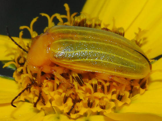 Chrysomelidae? - Zonitis dunniana