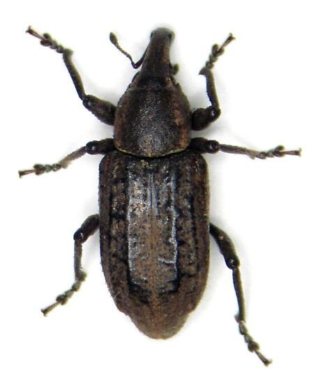 Listronotus - Listronotus squamiger - female
