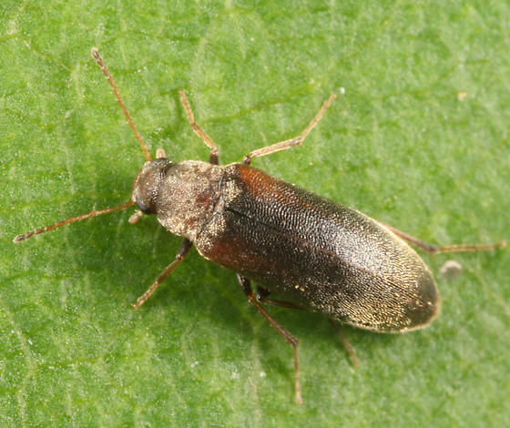 False Darkling Beetle - Microtonus sericans