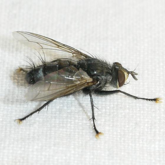 fly - Phorocera - male