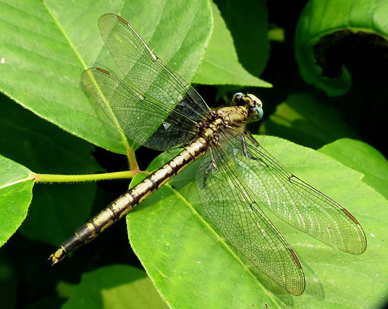 Gomphidae - Arigomphus cornutus - female