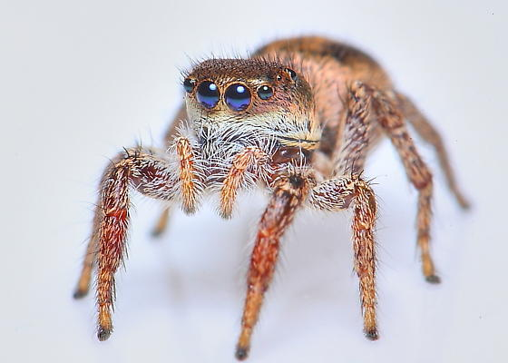 Jumping spider (with blue eyes) - Habronattus