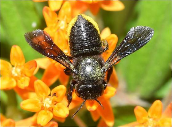 Megachile xylocopoides? - Megachile xylocopoides - female