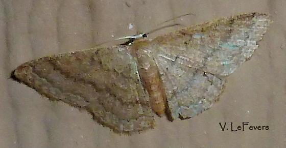 Idaea violacearia - Hodges#7120