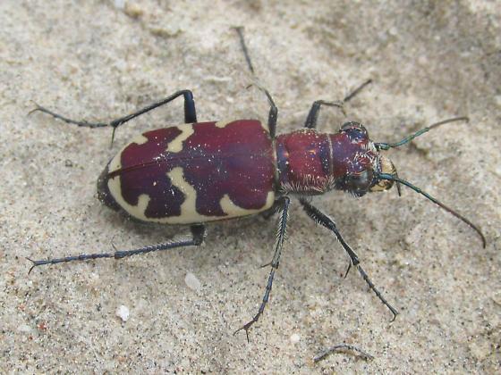 Cicindela formosa formosa - Cicindela formosa - female