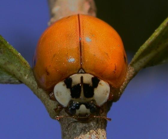 Ladybird - Harmonia axyridis