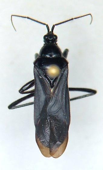 Black corsair - Melanolestes picipes