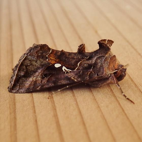 Noctuidae: Autographa precationis - Autographa precationis
