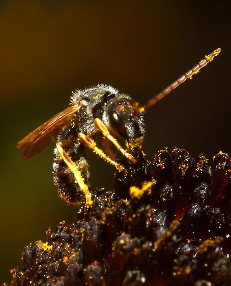 Megachilidae? - Halictus confusus