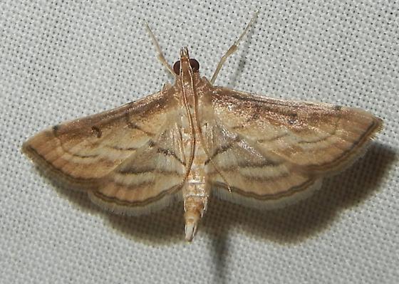 Marasmia trapezalis - Cnaphalocrocis trapezalis