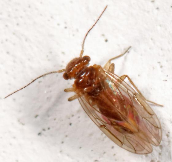 unidentified psocid - Ectopsocopsis cryptomeriae
