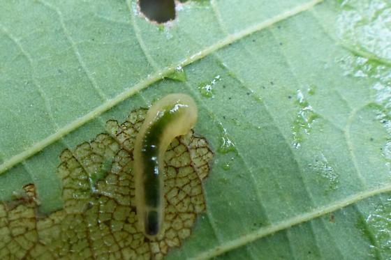 Slug-like sawfly larva?