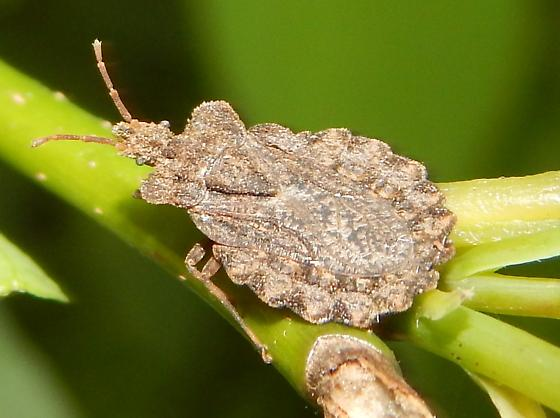 Baltimore Flat Bug - Aradus crenatus