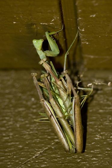 Mantis Mating - Stagmomantis limbata - male - female