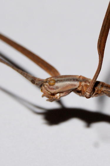 Walking stick - Manomera blatchleyi - female