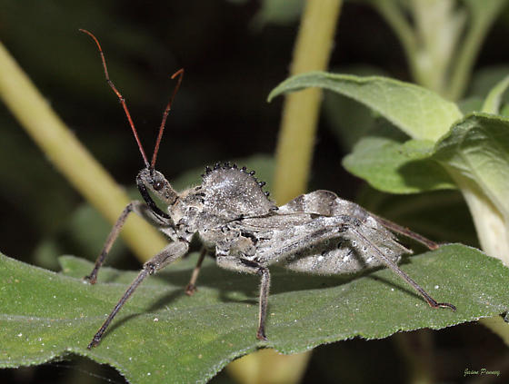 Wheel Bug - Arilus cristatus - male