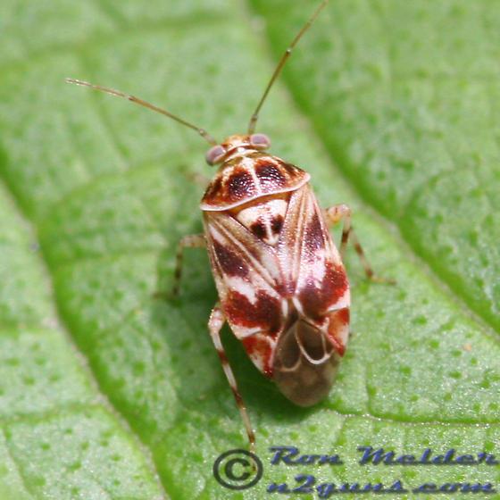 Plant Bug 01 - Tropidosteptes quercicola