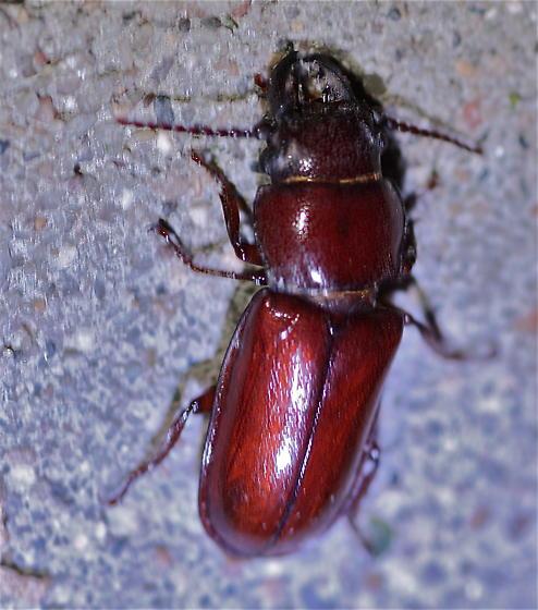 Stag Beetle - Neandra brunnea