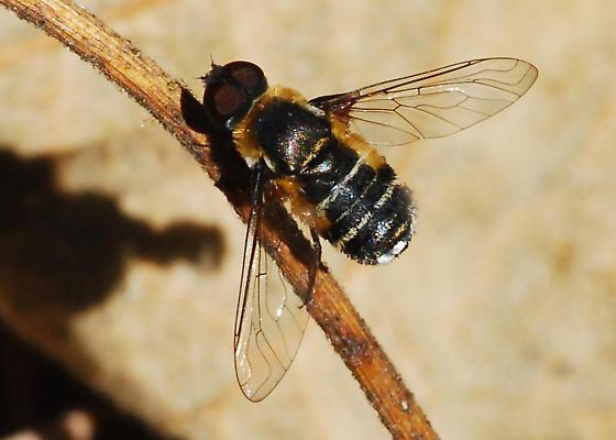 Orange County Bee Fly Archives #291 - Villa