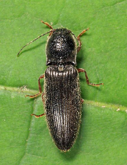 click beetle - Hemicrepidius hemipodus - female