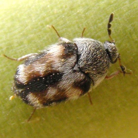 Dermestid - Paranovelsis varicolor