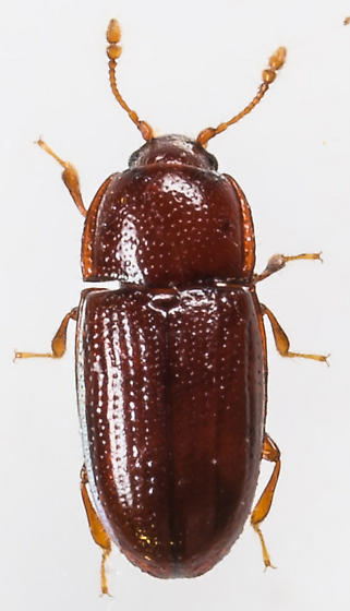 Beetle - Philothermus glabriculus
