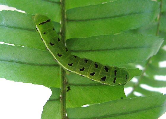 Fern Muncher - Callopistria floridensis