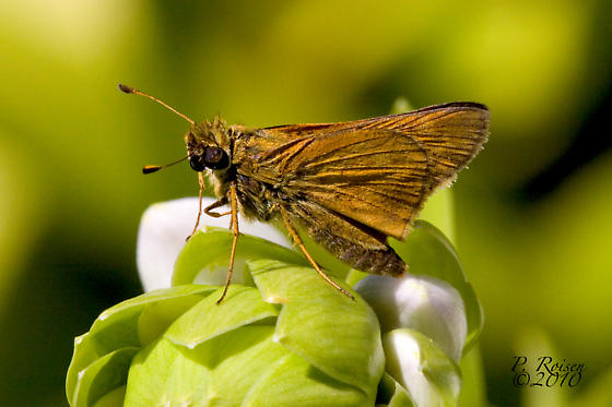 Unknown Skipper - Hesperia leonardus