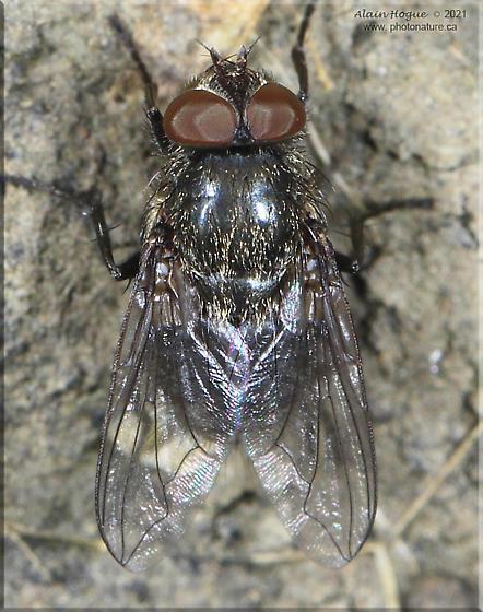 Pollenia - male
