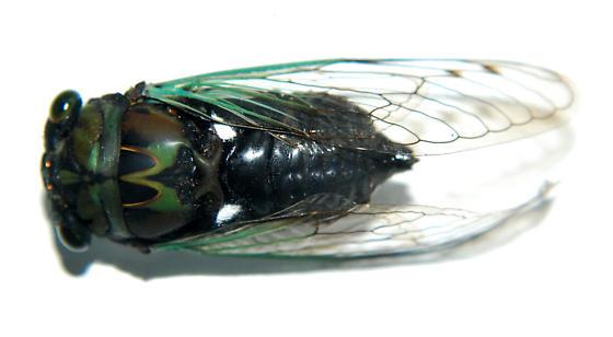 Cicadidae - Neotibicen tibicen