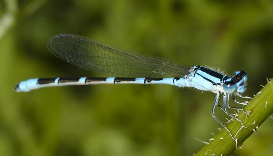 Enallagma - Enallagma carunculatum - male