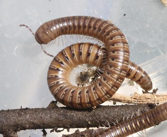 Spiral Millipedes