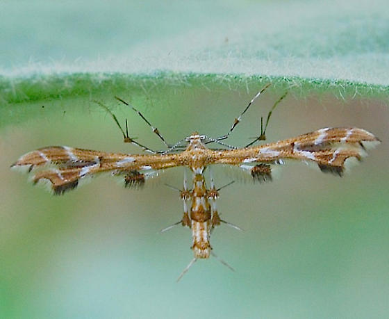 which plume moth? - Geina periscelidactylus