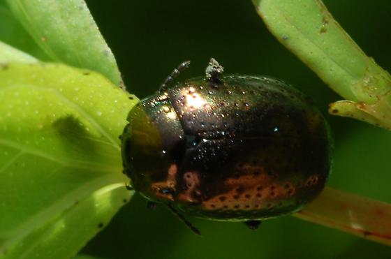 Bronze colored beetle with pitted shields - Chrysolina