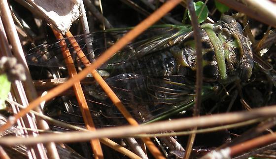 Unknown cicada. - Neotibicen davisi