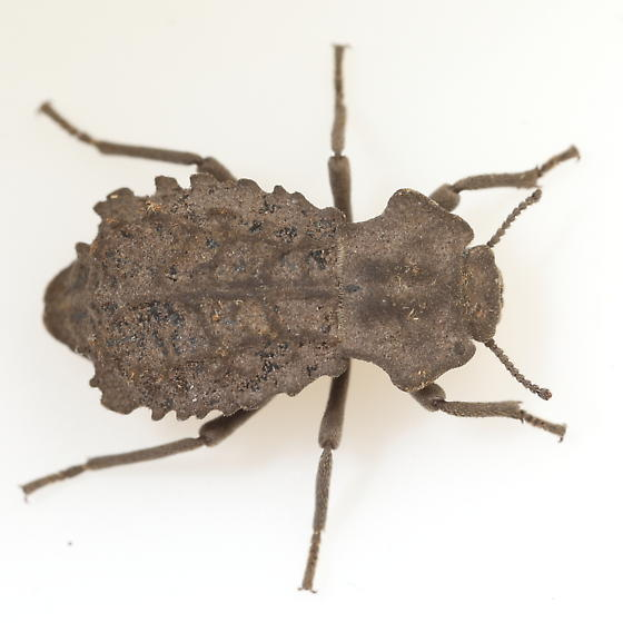 Tenebrionid - Pelecyphorus contortus
