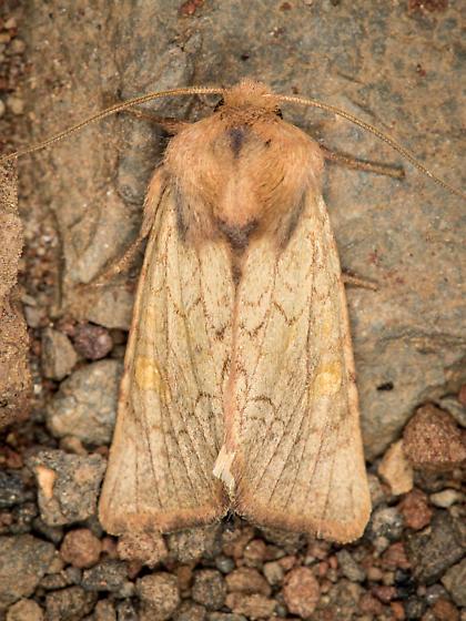 Moth - Amphipoea senilis
