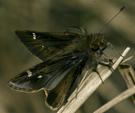 Unidentified Dark Skipper - Lerema accius