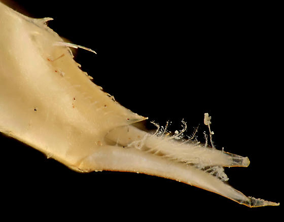 Clam shrimp, desiccated telson, dorsal-lateral - Eulimnadia geayi