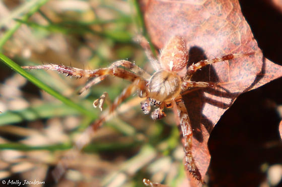 orb weaver - Araneus diadematus