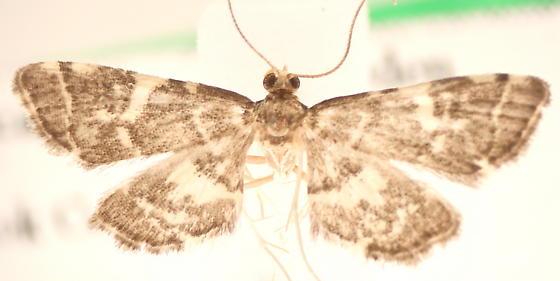 Anageshna primordialis - male