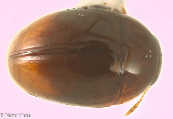 Coleoptera - Stilbus apicalis