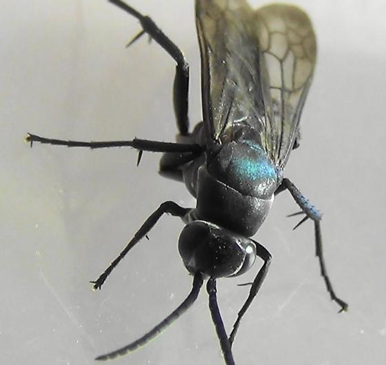 Blue Streaks (head hump) - Psorthaspis planata - male