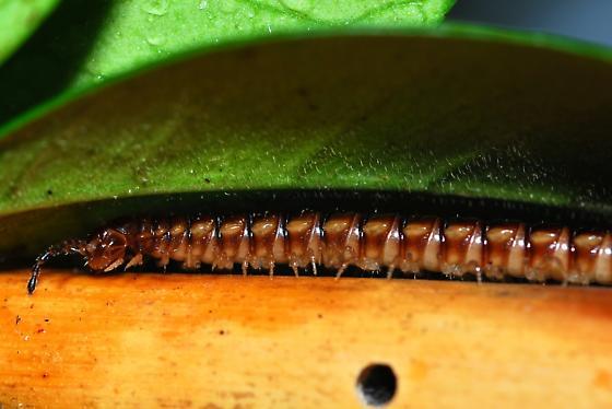 iD Diplopoda - Oxidus gracilis