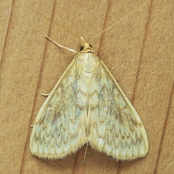 Crambidae: Sitochroa chortalis - Sitochroa chortalis