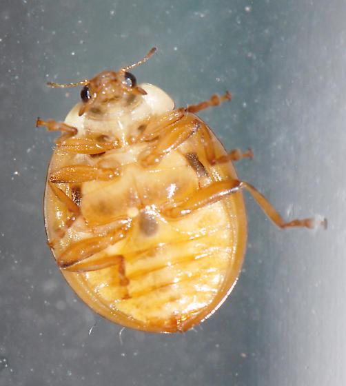 Lady Beetle hatchlings - Harmonia axyridis