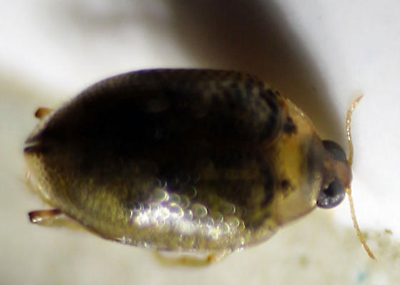 Oregon Haliplidae