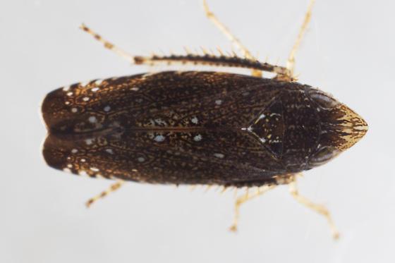 Scaphytopius frontalis - female
